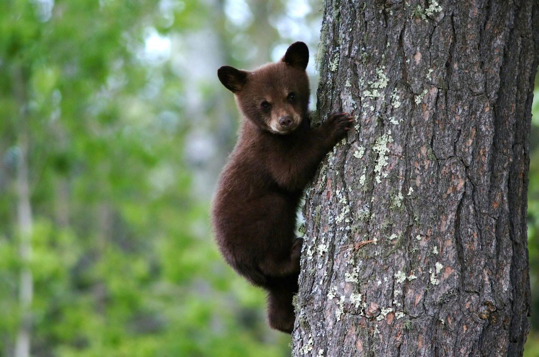Biology pub quiz questions - a bear cub