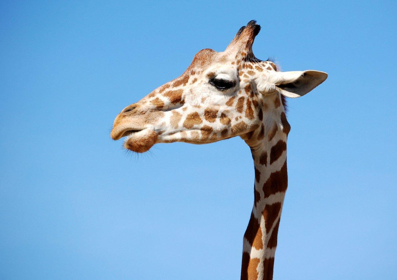 Science and nature pub quiz - a giraffe