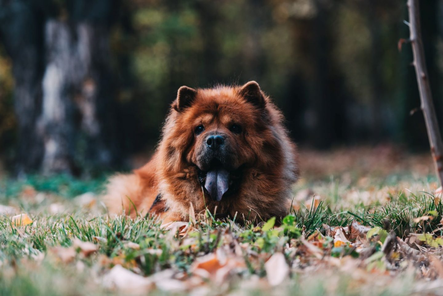 Dog Trivia Questions and Answers - Chow Chow