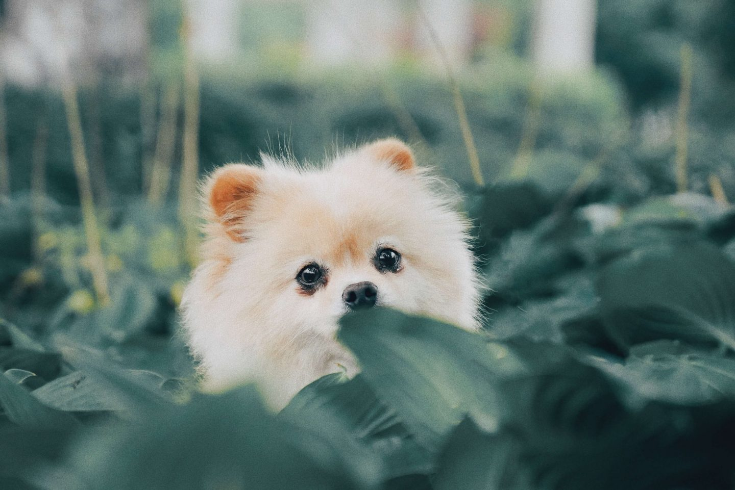 Funny dog quiz questions - Pomeranian