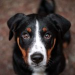 Dog Trivia Questions and Answers - black brown and white dog